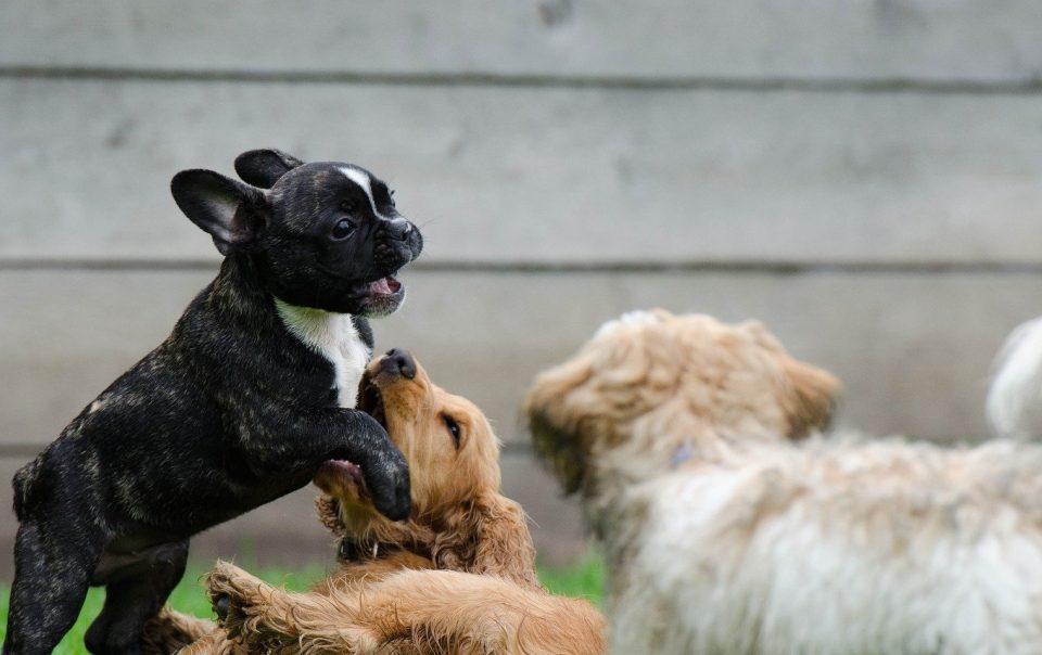 como-hacer-perro-sociable