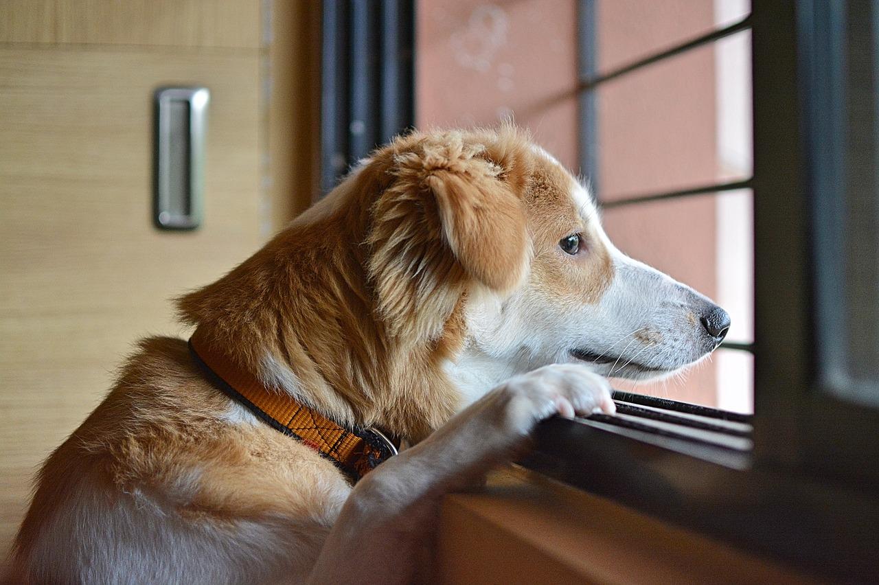 Ansiedad por separación cachorros