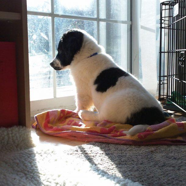 cachorro ansioso por sepración