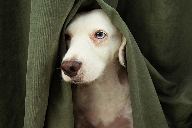 cachorro con miedo a los petardos