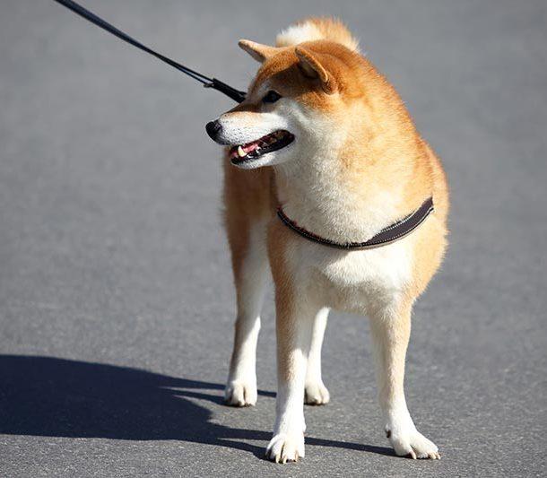 pasea a tu perro con correa sin esfuerzo
