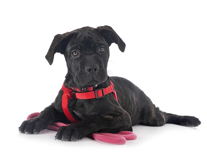 por que usar arnés en cachorros