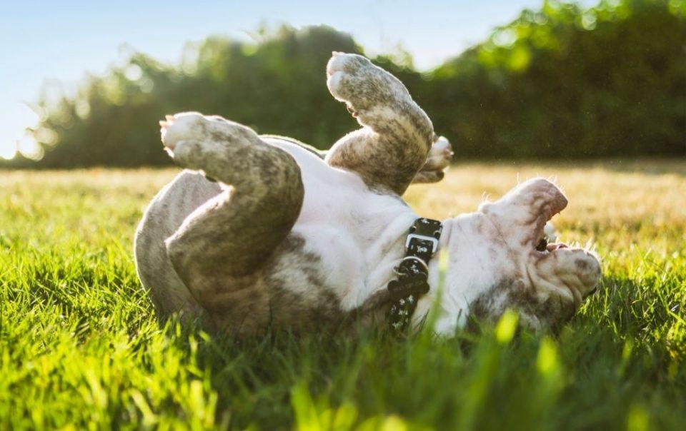 Los cachorros comen hierba